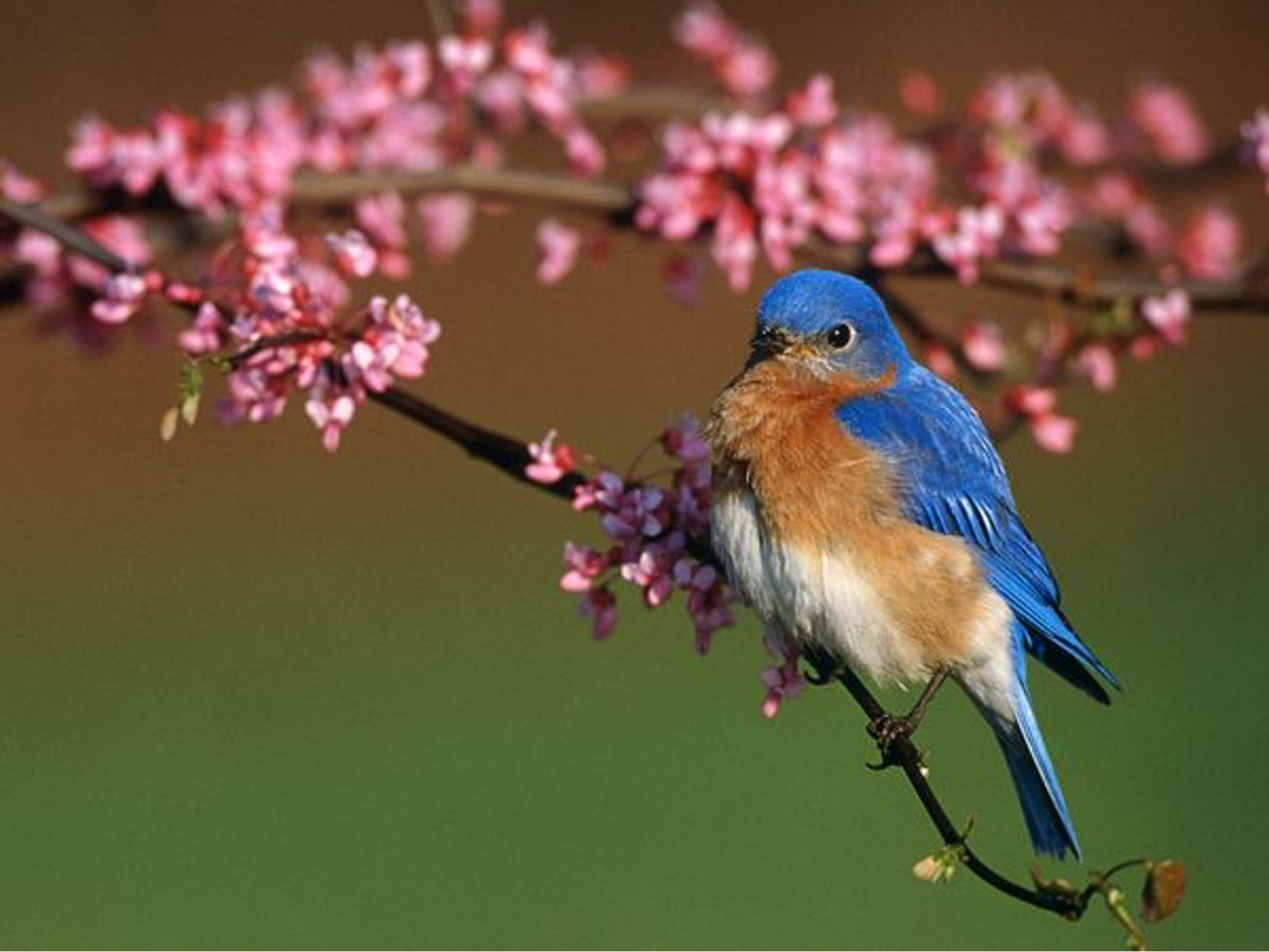 Free Bluebird Wallpaper For Desktop: On The Wings Of Love