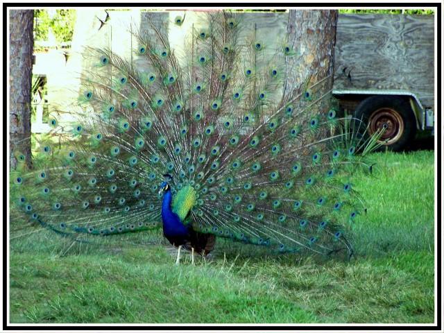 Peacock 04